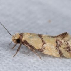 Psaroxantha calligenes (A concealer moth) at Melba, ACT - 14 Jan 2021 by kasiaaus