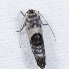 Eupselia carpocapsella (A Twig moth) at Melba, ACT - 14 Jan 2021 by kasiaaus