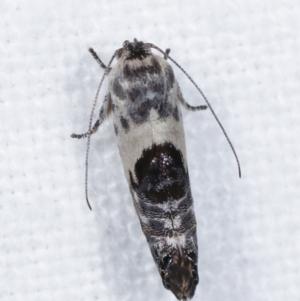 Eupselia carpocapsella at Melba, ACT - 14 Jan 2021