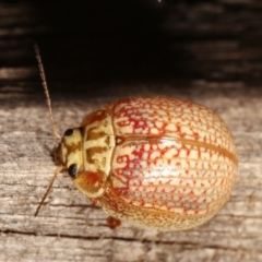Paropsisterna decolorata (A Eucalyptus leaf beetle) at Melba, ACT - 14 Jan 2021 by kasiaaus