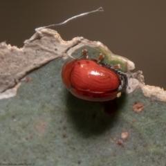 Ditropidus sp. (genus) (Leaf beetle) at Aranda Bushland - 21 Jan 2021 by Roger