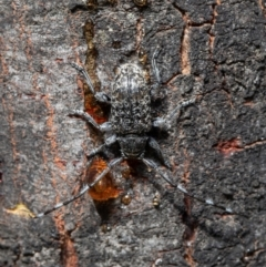 Ancita australis (Longicorn or longhorn beetle) at Aranda Bushland - 20 Jan 2021 by Roger