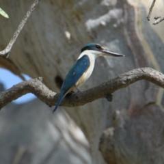 Todiramphus sanctus (Sacred Kingfisher) at Mungabareena - 20 Jan 2021 by PaulF