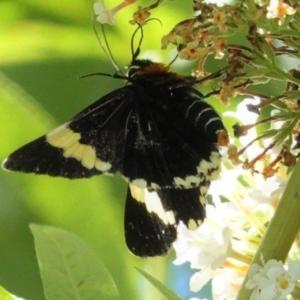 Eutrichopidia latinus at Hughes, ACT - 23 Jan 2021