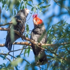Callocephalon fimbriatum (Gang-gang Cockatoo) at Red Hill Nature Reserve - 16 Jan 2021 by rileydm