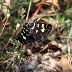 Phalaenoides tristifica (Willow-herb Day-moth) at Namadgi National Park - 23 Jan 2021 by RodDeb