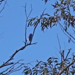 Myzomela sanguinolenta (Scarlet Honeyeater) at Namadgi National Park - 23 Jan 2021 by RodDeb