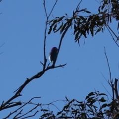 Myzomela sanguinolenta at Namadgi National Park - 24 Jan 2021