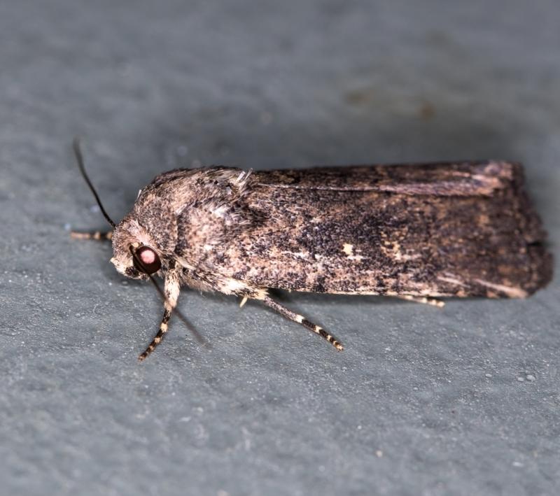 Proteuxoa provisional species 1 at Melba, ACT - 1 Jan 2021