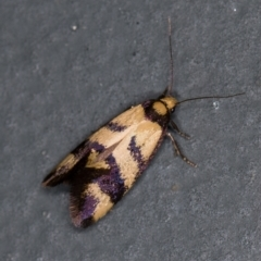 Olbonoma triptycha (Concealer moth) at Melba, ACT - 1 Jan 2021 by Bron
