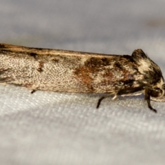Oenochroa dinosema (A Concealer moth) at Melba, ACT - 1 Jan 2021 by Bron