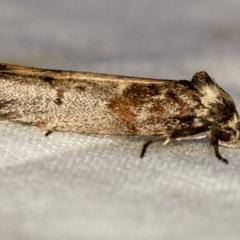 Oenochroa dinosema (A Concealer moth) at Melba, ACT - 1 Jan 2021 by Bron