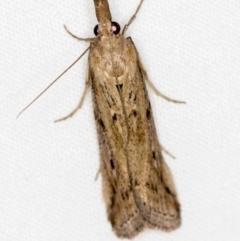 Faveria tritalis (Couchgrass Webworm) at Melba, ACT - 2 Jan 2021 by Bron