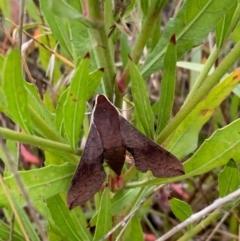 Hippotion scrofa (Coprosma Hawk Moth) at Murrumbateman, NSW - 24 Jan 2021 by SimoneC