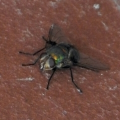 Rutilia sp. (genus) (A Rutilia bristle fly, subgenus unknown) at Aranda, ACT - 24 Jan 2021 by KMcCue