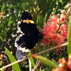 Eutrichopidia latinus (Yellow-banded Day-moth) at Murrumbateman, NSW - 23 Jan 2021 by SimoneC