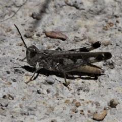 Austroicetes sp. (genus) (A grasshopper) at Forde, ACT - 17 Jan 2021 by HarveyPerkins