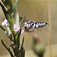 Coelioxys froggatti (Cuckoo Bee) at Forde, ACT - 17 Jan 2021 by HarveyPerkins
