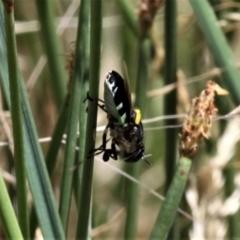 Odontomyia sp. (genus) (Soldier fly) at Forde, ACT - 17 Jan 2021 by HarveyPerkins