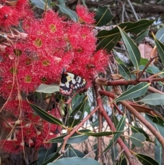 Delias aganippe (Spotted Jezebel) at Currawang, NSW - 24 Jan 2021 by camcols