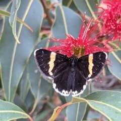 Eutrichopidia latinus (Yellow-banded Day-moth) at Currawang, NSW - 24 Jan 2021 by camcols