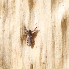Holoplatys sp. (genus) (Unidentified Holoplatys jumping spider) at Dryandra St Woodland - 24 Jan 2021 by ConBoekel