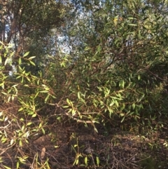 Acacia verniciflua (Varnish Wattle) at West Albury, NSW - 24 Jan 2021 by Alburyconservationcompany