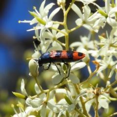 Castiarina crenata (Crenata jewel beetle) at Mount Taylor - 20 Jan 2021 by MatthewFrawley