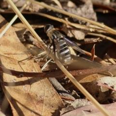 Villa sp. (genus) (Unidentified Villa bee fly) at Albury - 24 Jan 2021 by Kyliegw