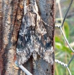 Agrius convolvuli (Convolvulus Hawk Moth) at Surf Beach, NSW - 23 Jan 2021 by LyndalT