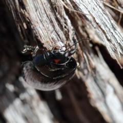 Paropsisterna irina at Dryandra St Woodland - 21 Jan 2021