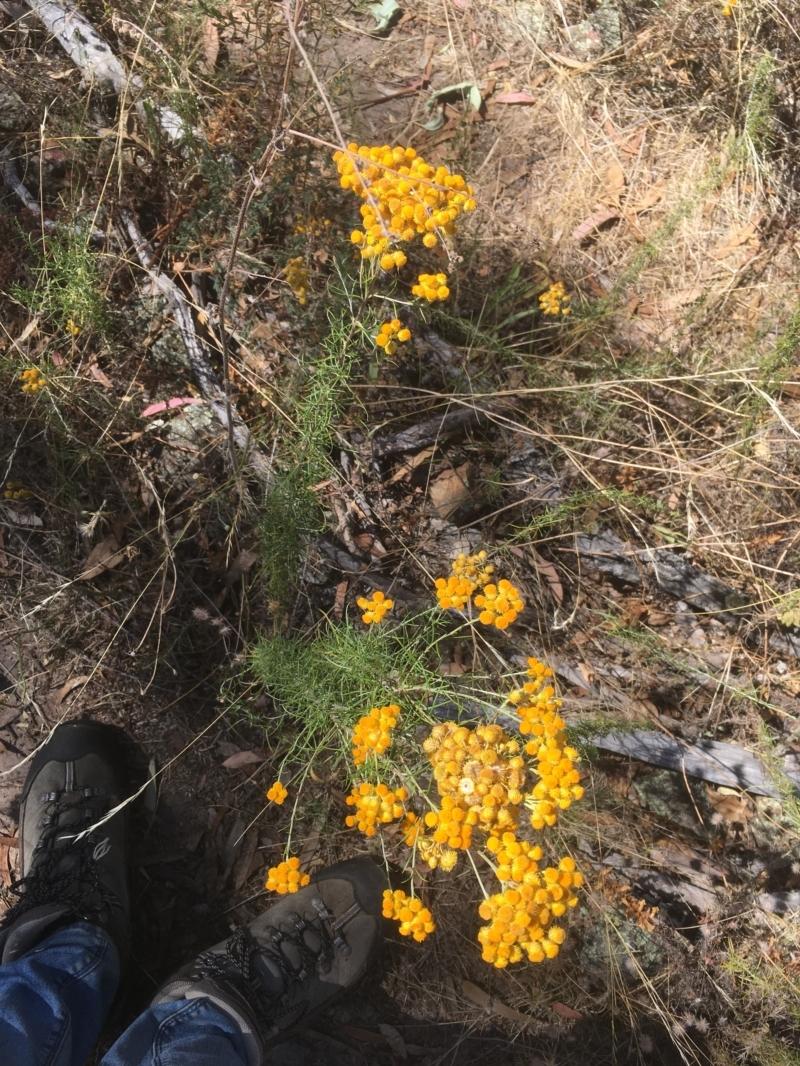 Chrysocephalum semipapposum at Mount Ainslie - 17 Jan 2021