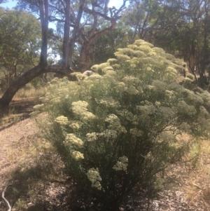 Cassinia longifolia at Mount Ainslie - 23 Jan 2021