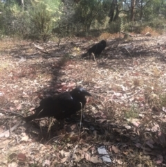 Corvus coronoides (Australian Raven) at Mount Ainslie - 22 Jan 2021 by alex_watt