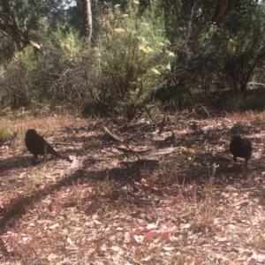 Corvus coronoides at Mount Ainslie - 23 Jan 2021