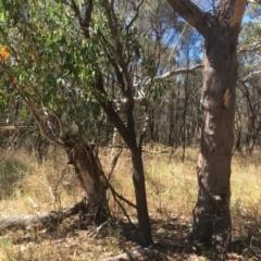 Eucalyptus blakelyi (Blakely's Red Gum) at Majura, ACT - 17 Jan 2021 by alex_watt