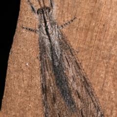 Heoclisis fundata (Antlion lacewing) at Melba, ACT - 14 Jan 2021 by kasiaaus