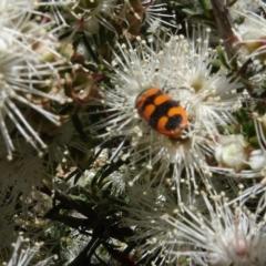 Castiarina crenata (Crenata jewel beetle) at Googong, NSW - 9 Dec 2020 by AndyRussell