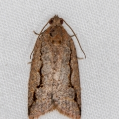 Meritastis undescribed species (A Tortricid moth) at Melba, ACT - 2 Jan 2021 by Bron