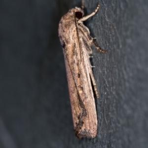 Proteuxoa provisional species 4 at Melba, ACT - 2 Jan 2021