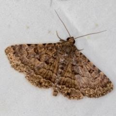 Diatenes aglossoides (An Eribid moth) at Melba, ACT - 2 Jan 2021 by Bron