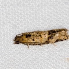 Olethreutinae sp. (subfamily) (A tortrix moth) at Melba, ACT - 2 Jan 2021 by Bron