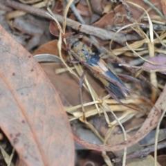 Unidentified Longhorn beetle (Cerambycidae) (TBC) at Wamboin, NSW - 24 Jan 2021 by natureguy