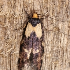 Palimmeces leucopelta (A concealer moth) at Melba, ACT - 15 Jan 2021 by kasiaaus
