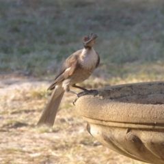 Philemon corniculatus (Noisy Friarbird) at Macarthur, ACT - 25 Jan 2021 by RodDeb