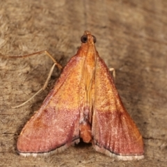 Endotricha pyrosalis (A Pyralid moth) at Melba, ACT - 16 Jan 2021 by kasiaaus