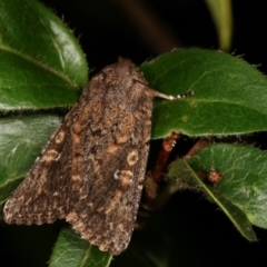 Hypoperigea tonsa (A noctuid moth) at Melba, ACT - 16 Jan 2021 by kasiaaus
