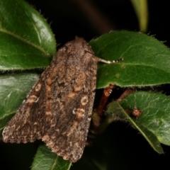 Hypoperigea tonsa (A noctuid moth) at Melba, ACT - 16 Jan 2021 by kasiaaus