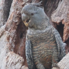 Callocephalon fimbriatum (Gang-gang Cockatoo) at Red Hill, ACT - 24 Jan 2021 by roymcd