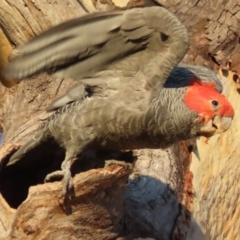 Callocephalon fimbriatum (Gang-gang Cockatoo) at Symonston, ACT - 25 Jan 2021 by roymcd